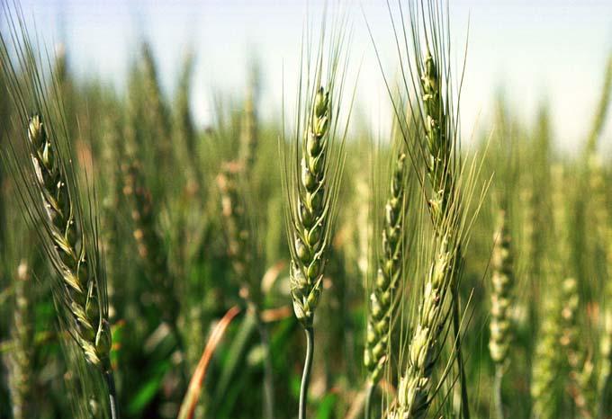 麥子與稗子的圖片搜尋結果